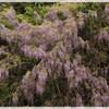 藤の花は見頃、人で多い