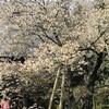 4月28日(火)会津の5桜法用寺の虎の尾桜、伊佐須美神社の薄墨桜を見る、