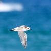 再掲:浜辺を飛ぶシロチドリ
