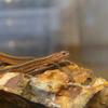 ニホンカナヘビ、捕獲から飼育半年 経過報告