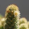 黄金司(こがねつかさ)の花