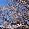 ショカツサイの開花&啓蟄は過ぎたけれど&ブロッコリーむくむく&公開間近!天王寺のホッキョクグマの赤ちゃん♪