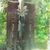 熱帯魚とロリカリアの成長速度