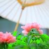 春牡丹(鎌倉鶴岡八幡宮・神苑牡丹庭園)