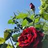 バラの咲く季節。近所の公園のバラの花壇を見に行ってきたよ!