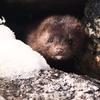 アメリカの毛皮農場で大量のミンクがコロナ感染で死んでいた