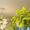 長く育てている観葉植物達🌱