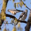 2019年4月6日の鳥撮り-千葉県北西部