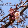 万代長嶺小学校脇の桜が咲き始めました(3/24)