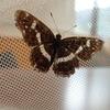 サカハチチョウの夏型 飛んでいるときには同じタテハチョウのイチモンジチョウに見えるかも