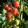トマトの栽培経過~アイコとインディゴローズ