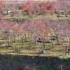 いい天気の東広島市豊栄町のブルーベリー園 利用者の絵「柿」その4