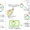 『人工細菌誕生』の論文を解説してみる:その3(人工細菌の創出)