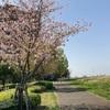 荒川の五色桜  足立区新田