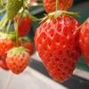 今日は何の日?2月25日だけではないけど「とちぎのいちごの日」その2~イチゴは果物?~