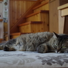 たぬき猫の夏。