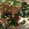 パキラとガジュマルのここ1か月の成長とイチゴの収穫