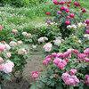 【薔薇が咲く都会のオアシス】オクトーバーフェスト開催中の日比谷公園の見どころ、カフェ&ランチ情報