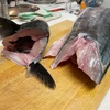 【実食】3月に釣ったサワラって美味しいの?【レシピ】