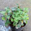 ☆おすすめ商品紹介☆白い小花と真っ赤な実が楽しめる高山植物「アカモノ」など