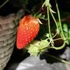 「佐久の季節便り」、「イチゴ(苺)」の実が、朝日を浴びて…。