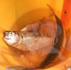 でかいコノシロを釣って食べた次第