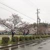 今日も桜。明日はラジオ。