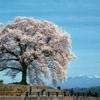 わに塚の桜・他