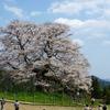 満開の醍醐桜へ