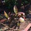 いつもより嬉しいブルーベリー ブルーレイの開花