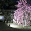 和歌山城で一番早く咲く桜が、今年も咲いていました