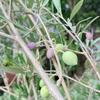 初めて収穫したオリーブの実