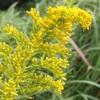 セイタカアワダチソウの花と昆虫たち