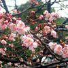 桜と紅白梅と妙心寺