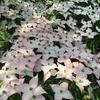 春野 男の隠れ家 ヤマボウシの花