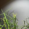 【ミルクブッシュ成長記録】アマテラスのライトでぐんぐん成長!