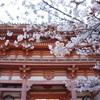 京都の桜 女一人旅 〜2日目 醍醐寺編〜