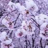 写真作品「雪桜」 #桜 #EOSM6