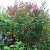 朝の庭から・・・ムタビリス、ラクスパー、ロサ・ガリカ・オフィキナリス
