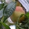 桃初収穫、ポタジェ収穫・・・ズッキーニ、トマト、インゲン、ナス