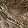 巣作りから18日目(2軒目)。とうとう抱卵放棄か…今日、ツバメさんが帰ってきませんでした。。。