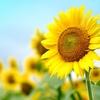 植物からの癒し 太陽のように輝く花 ヒマワリ