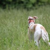 バルクアップはじめました。筋トレ器具を使えない犬は自重的トレーニングがいいと思う。