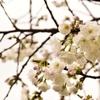 北海道桜満開!