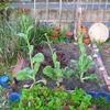 【家庭菜園】かつお菜、とうが立ちました。