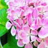 紫陽花の花 撮影7選