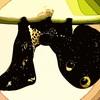 庭のアケビコノハ 【虫ですよ】