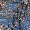 桜って綺麗だよね
