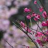 2月3月もたくさんの花が見られる!鎌倉、長谷寺で河津桜と梅を撮影