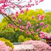 【春到来】太宰府天満宮の梅が見頃ということで写真撮ってきたよ。